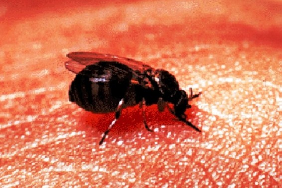 Stop black flies with a roll-on