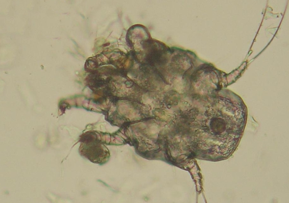Ear mite in the dog